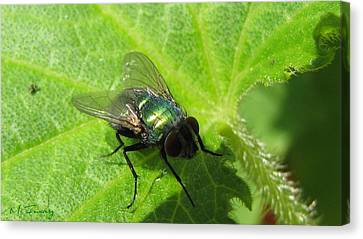 Canvas Print featuring the photograph Green Bottle Fly by Maciek Froncisz