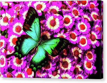 Green Butterfly On Pericallis Flowers Canvas Print by Garry Gay