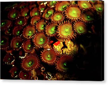 Canvas Print featuring the photograph Green Button Polyps by Anthony Jones