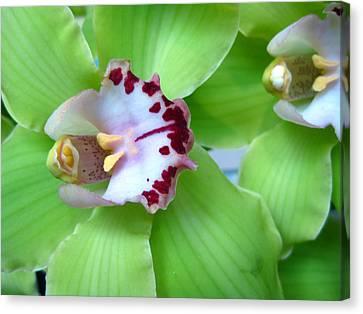 Green Cymbidium Orchids Canvas Print by Heidi Hermes