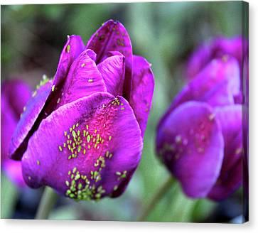 Aphids On Purple Tulips Canvas Print