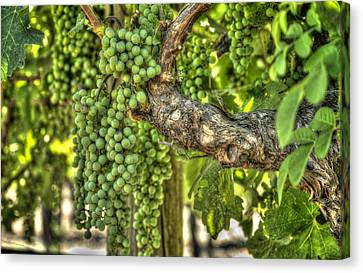 Green Grapes Canvas Print by Barry Benton