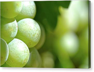 Green Grapes Close Up In Napa Valley Ready To Be Made Into Wine Canvas Print by Brandon Bourdages