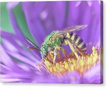 Sweat Canvas Print - Green Halactid Bee  Agapostemon Virescens by Jim Hughes
