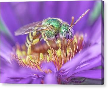 Sweat Canvas Print - Green Halactid Bee On Purple Aster by Jim Hughes