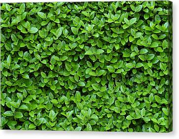 Pruning Canvas Print - Green Hedge by Frank Tschakert