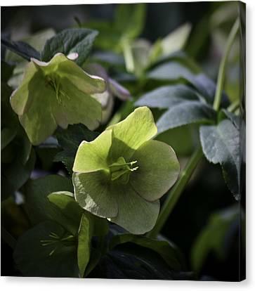 Green Hellebore Squared Canvas Print by Teresa Mucha