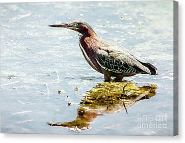 Canvas Print featuring the photograph Green Heron Bright Day by Robert Frederick