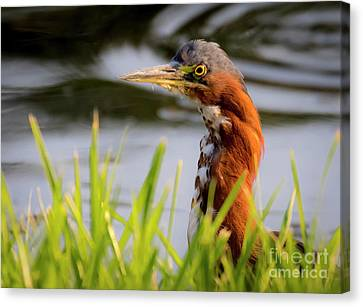 Canvas Print featuring the photograph Green Heron Closeup  by Ricky L Jones