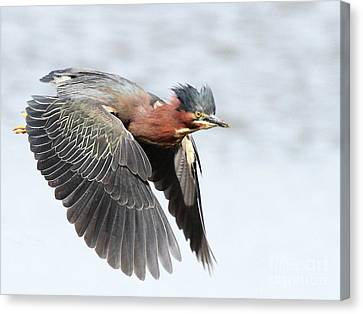 Green Heron In Flight . 7d627 Canvas Print by Wingsdomain Art and Photography