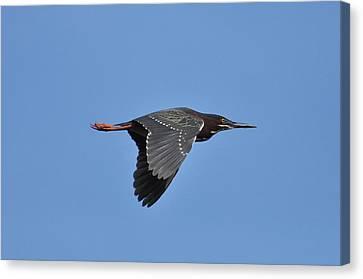 Green Heron In Flight Canvas Print by Gerald Hiam
