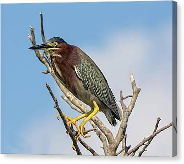 Canvas Print featuring the photograph Green Heron by Robert Pilkington