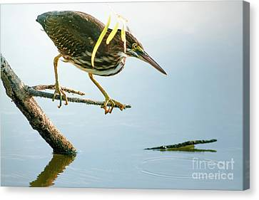 Cabin Window Canvas Print - Green Heron Sees Minnow by Robert Frederick