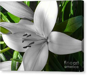 Green Highlighted Lily Canvas Print by Sonya Chalmers