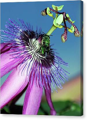 Green Hover Fly On Passion Flower Canvas Print