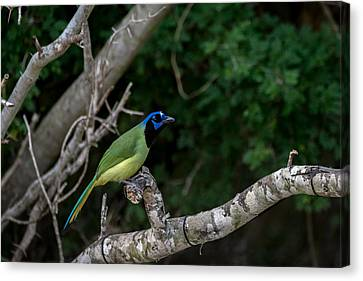 Green Jay Canvas Print