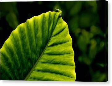 Green Leaf Canvas Print by Lyle  Huisken