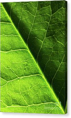 Canvas Print featuring the photograph Green Leaf Veins by Ana V Ramirez