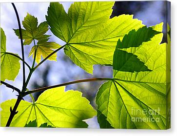 Green Leaves Canvas Print by Carlos Caetano