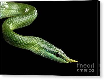 Green Long Nosed Snake, Rhinoceros Ratsnake Canvas Print