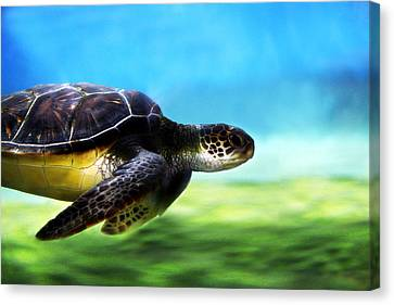 Green Sea Turtle 2 Canvas Print by Marilyn Hunt