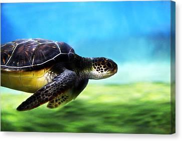 Green Sea Turtle 2 Canvas Print by Marilyn Hunt