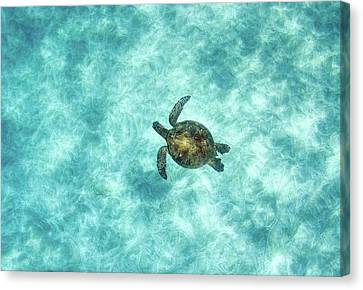 Green Sea Turtle In Under Water Canvas Print by M.M. Sweet