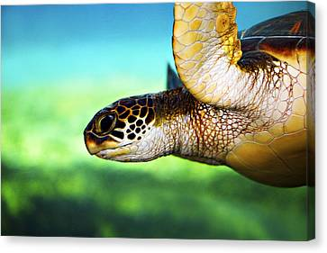 Green Sea Turtle Canvas Print by Marilyn Hunt