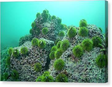 Green Sea Urchin Canvas Print by Sami Sarkis