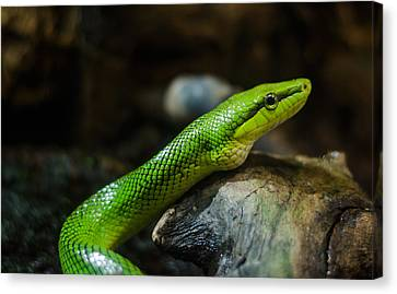 Green Snake Canvas Print by Daniel Precht