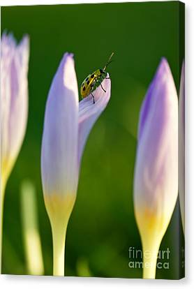 Green Spotted Beetle And Crocuses Canvas Print by Rachel Morrison