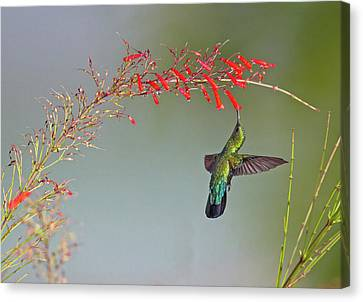 Green-throated Carib Canvas Print