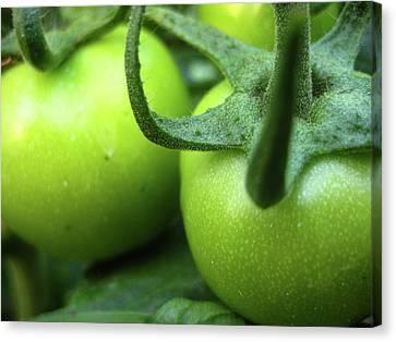 Green Tomatoes No.3 Canvas Print by Kamil Swiatek