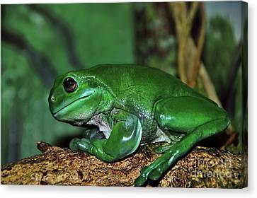 Green Tree Frog With A Smile Canvas Print by Kaye Menner