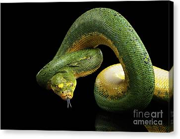 Green Tree Python. Morelia Viridis. Isolated Black Background Canvas Print by Sergey Taran