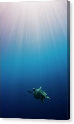 Green Turtle Swimming In Sunlit Ocean Canvas Print by Image by Dan Exton, UK