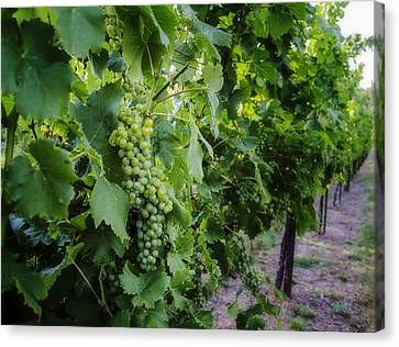Green Wine Grapes 3 Canvas Print by Pelo Blanco Photo