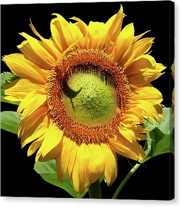 Greenburst Sunflower Canvas Print by Rona Black
