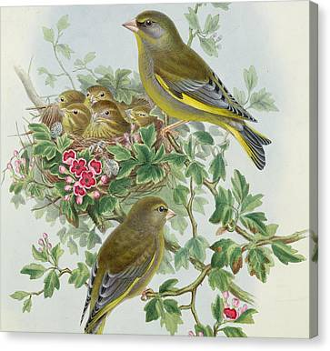 Finch Canvas Print - Greenfinch by John Gould