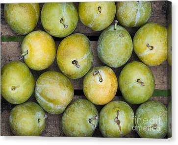 Greengage Harvest Canvas Print by Tim Gainey