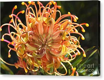 Canvas Print - Grevillea Superb Flower Australian Native by Joy Watson