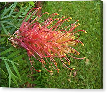 Canvas Print featuring the photograph Grevillea Superb by Odille Esmonde-Morgan