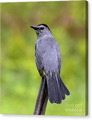 Canvas Print featuring the photograph Grey Catbird by Debbie Stahre