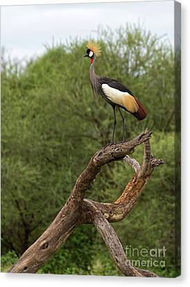 Grey Crowned Crane Canvas Print