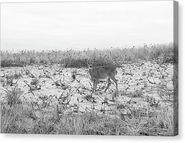 Deer On Beach Canvas Print - Grey Day On The Dunes  by Joan D Squared Photography