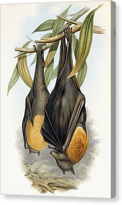 Grey Headed Flying Fox, Pteropus Poliocephalus Canvas Print by John Gould