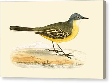 Grey Headed Yellow Wagtail Canvas Print by English School