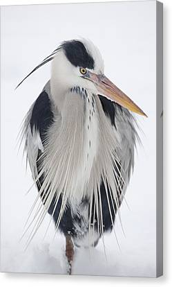 Grey Heron In The Snow Canvas Print