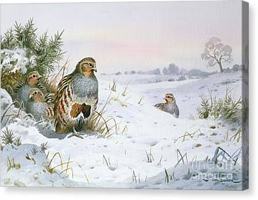 Grey Partridge Canvas Print by Carl Donner