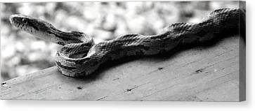 Grey Rat Snake Canvas Print